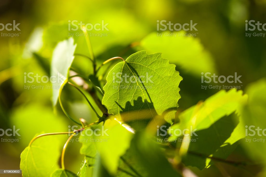 Green aspen (poplar) leaves in the sunshine stock photo