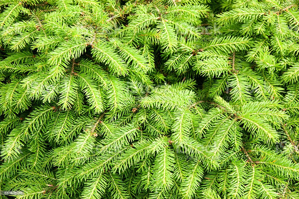 green background from fir-tree branches stock photo