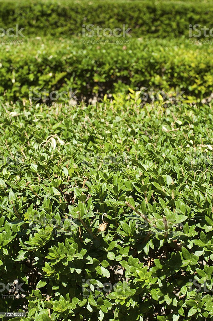 Green background of garden shrubs royalty-free stock photo