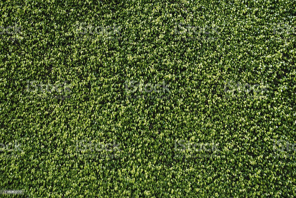 Green Background Texture - Wall of Ficus Leaves stock photo