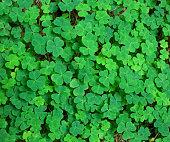 green background with three-leaved shamrocks.