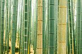 Green Bamboo Tree Trunks in Arashiyama Kyoto Japan
