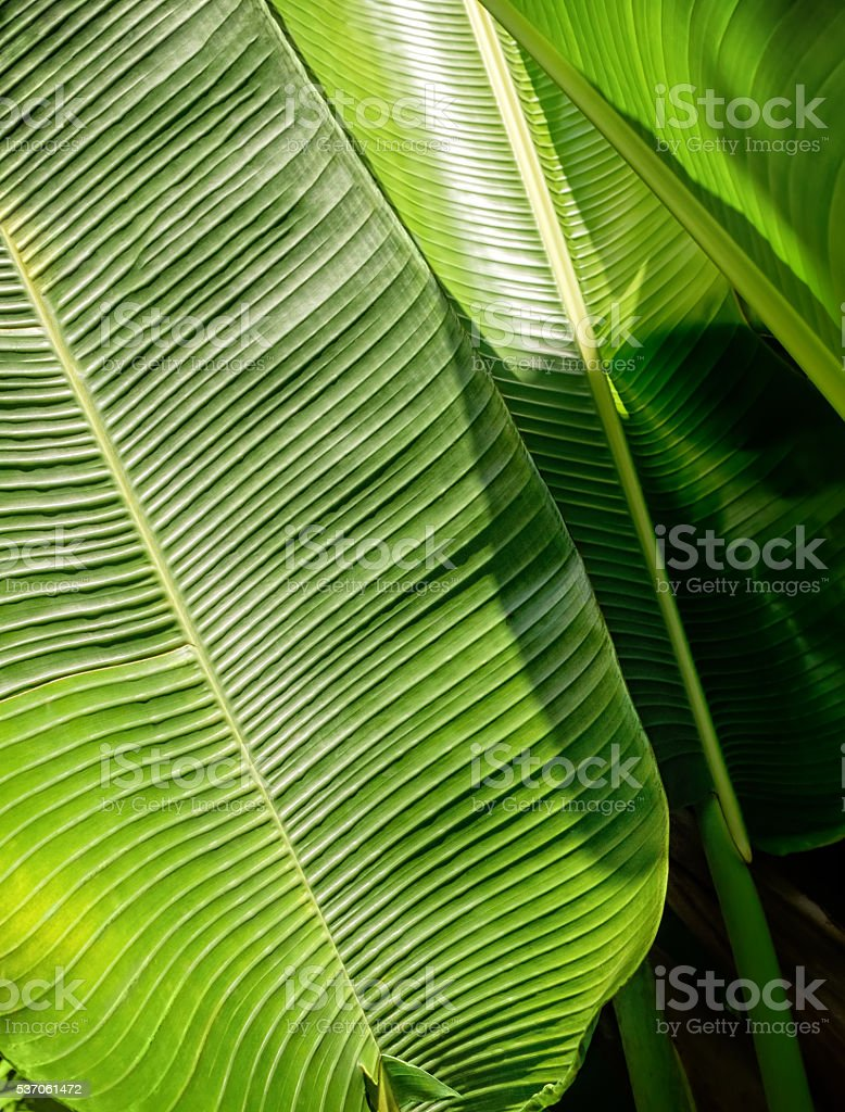 Green banana leaf background abstract. stock photo