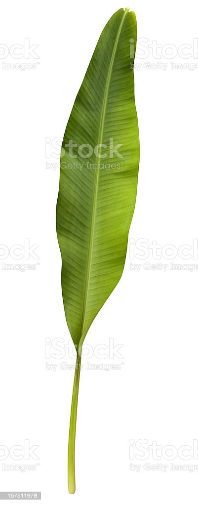 Green banana leaf isolated on white with clipping path stock photo