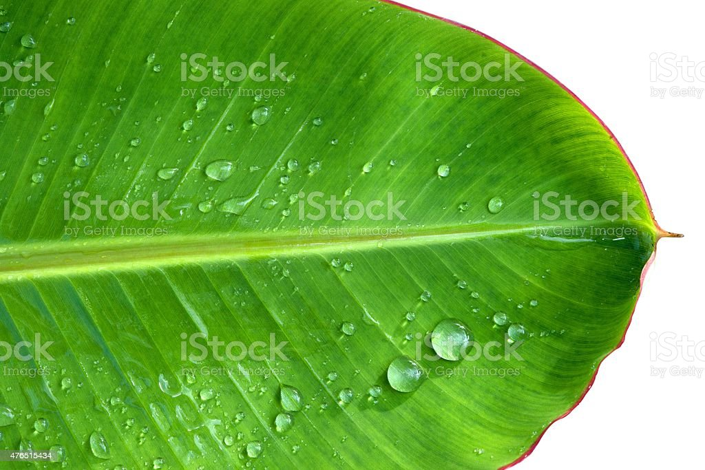 Green banana leaf with water drops on a white background royalty-free stock photo