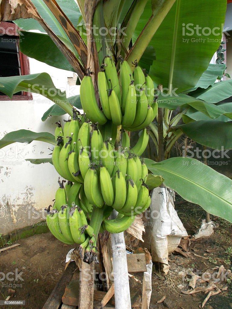 green banana on the lants stock photo