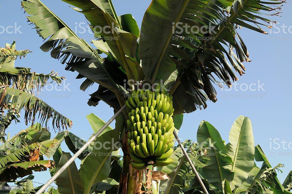 Green bananas, Canary Islands, Spain royalty-free stock photo