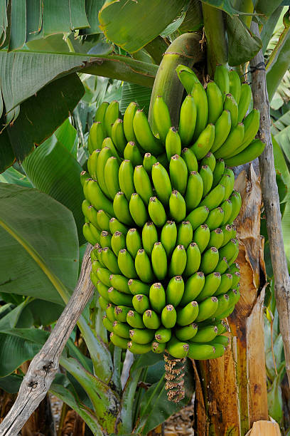 Banana Tree Pictures, Images and Stock Photos - iStock