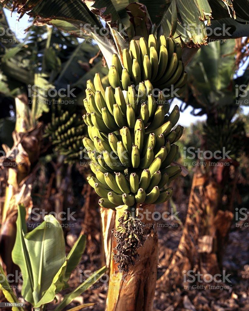 Green bananas on tree, Tenerife. stock photo