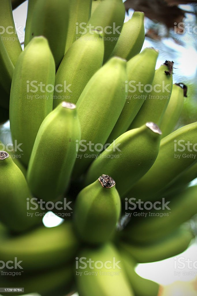 green bananas royalty-free stock photo