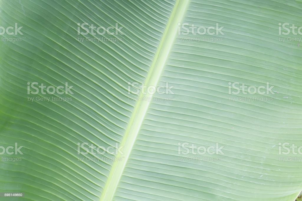 Green bananna macro leaf backgrond stock photo