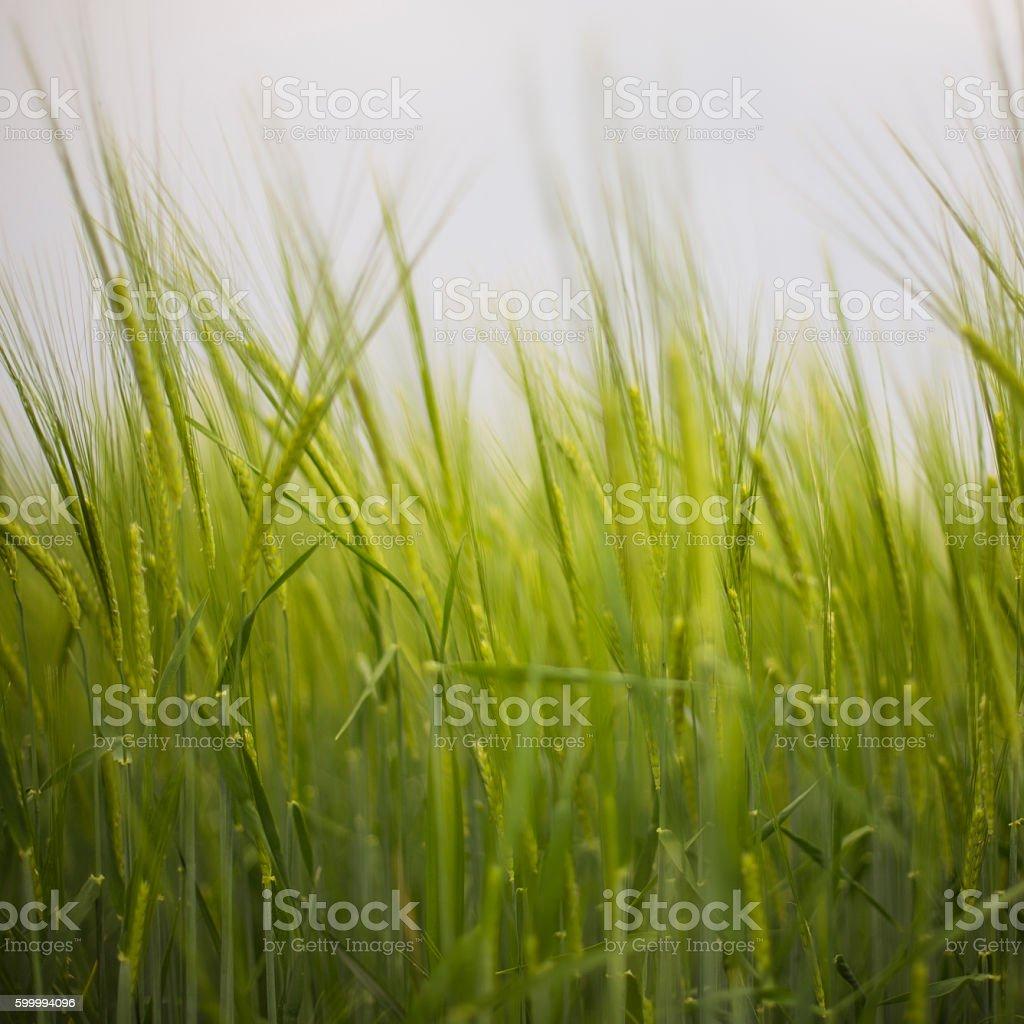 Green Barley close-up stock photo