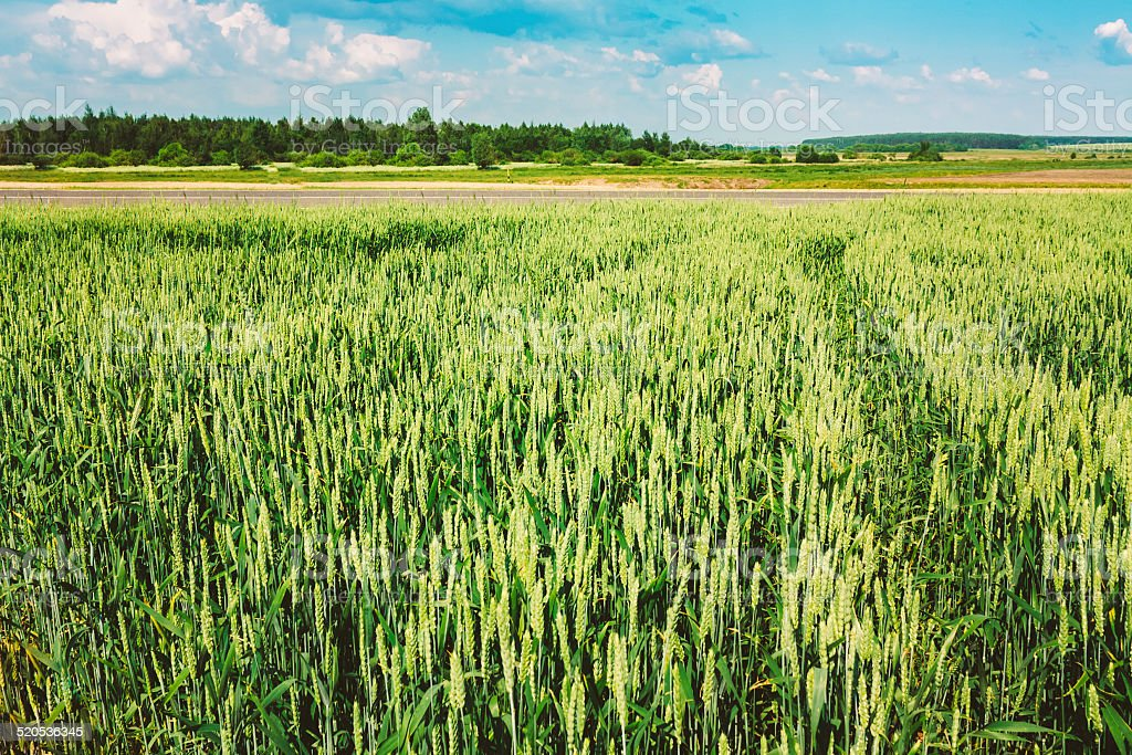 Green Barley Ears Field early Summer. Green Background stock photo