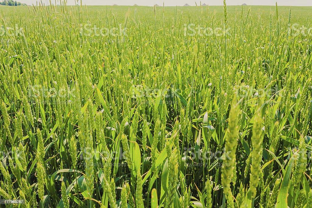 Green Barley Ears stock photo