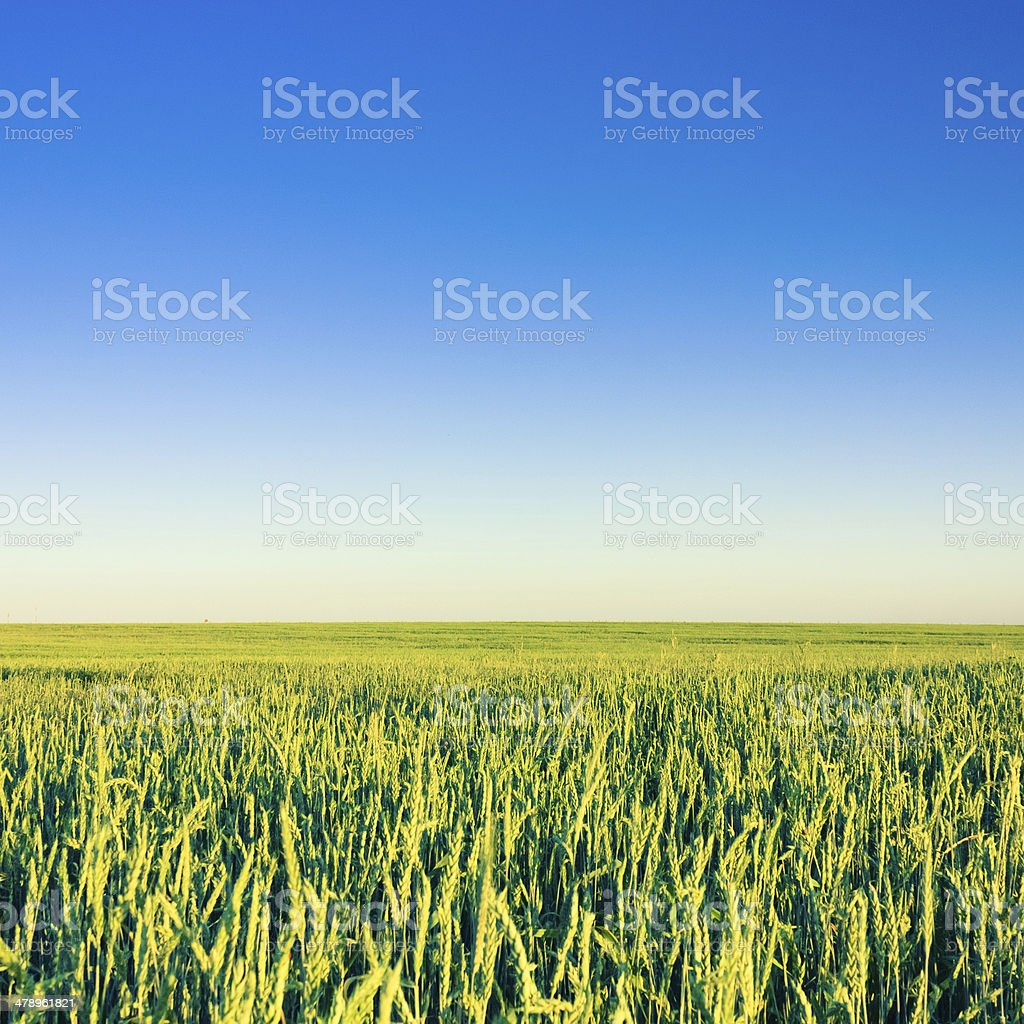 Green Barley Ears royalty-free stock photo