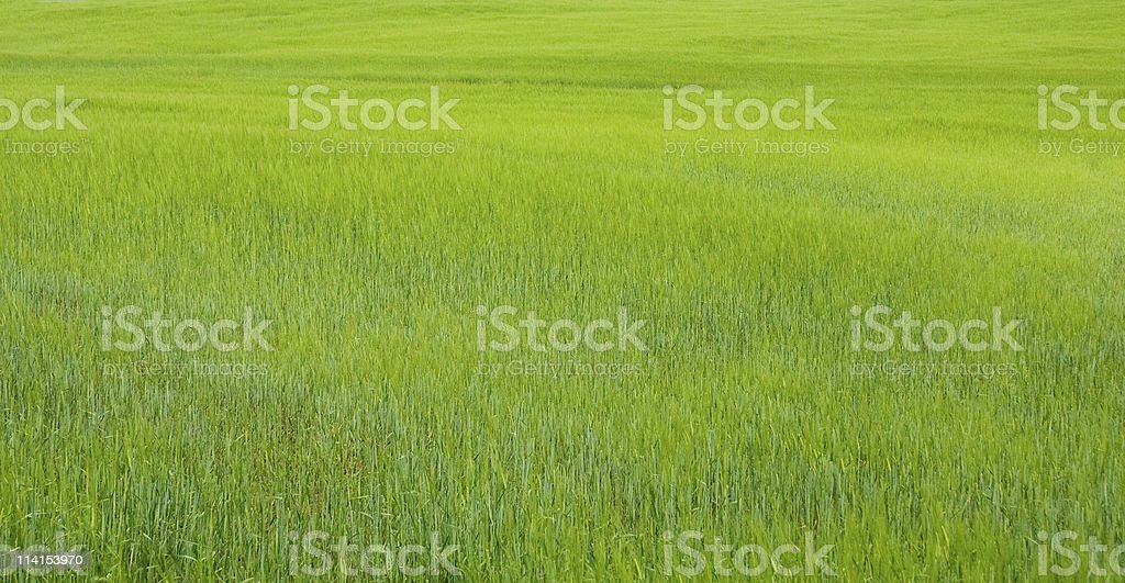 Green barley field background royalty-free stock photo