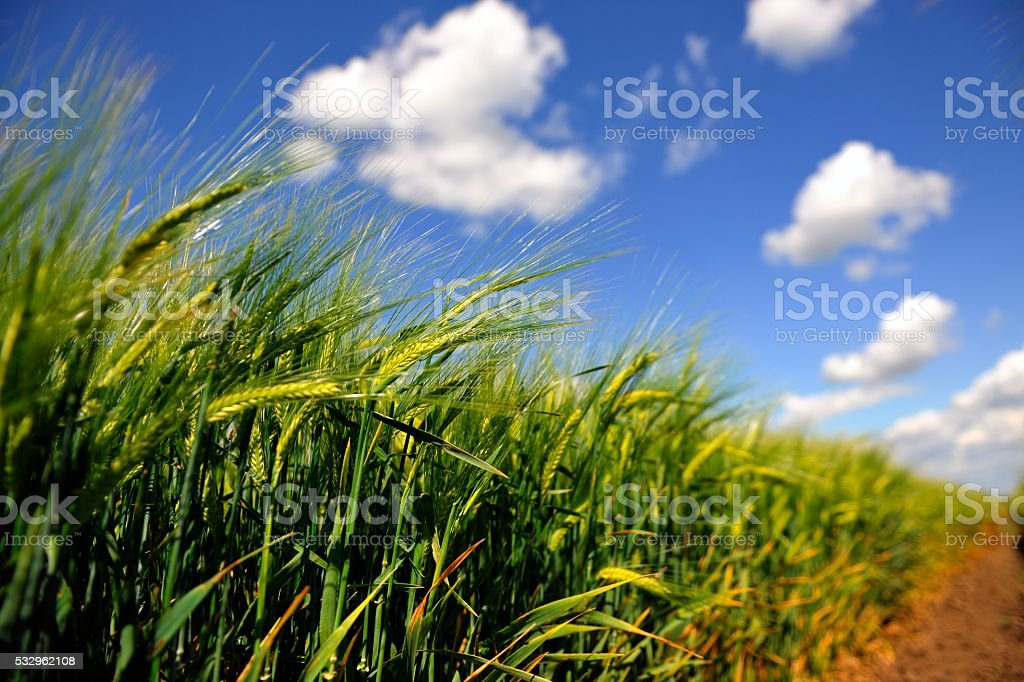Green Barley Field Landscape stock photo