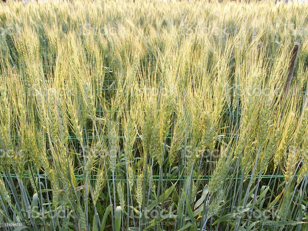Green barley field royalty-free stock photo