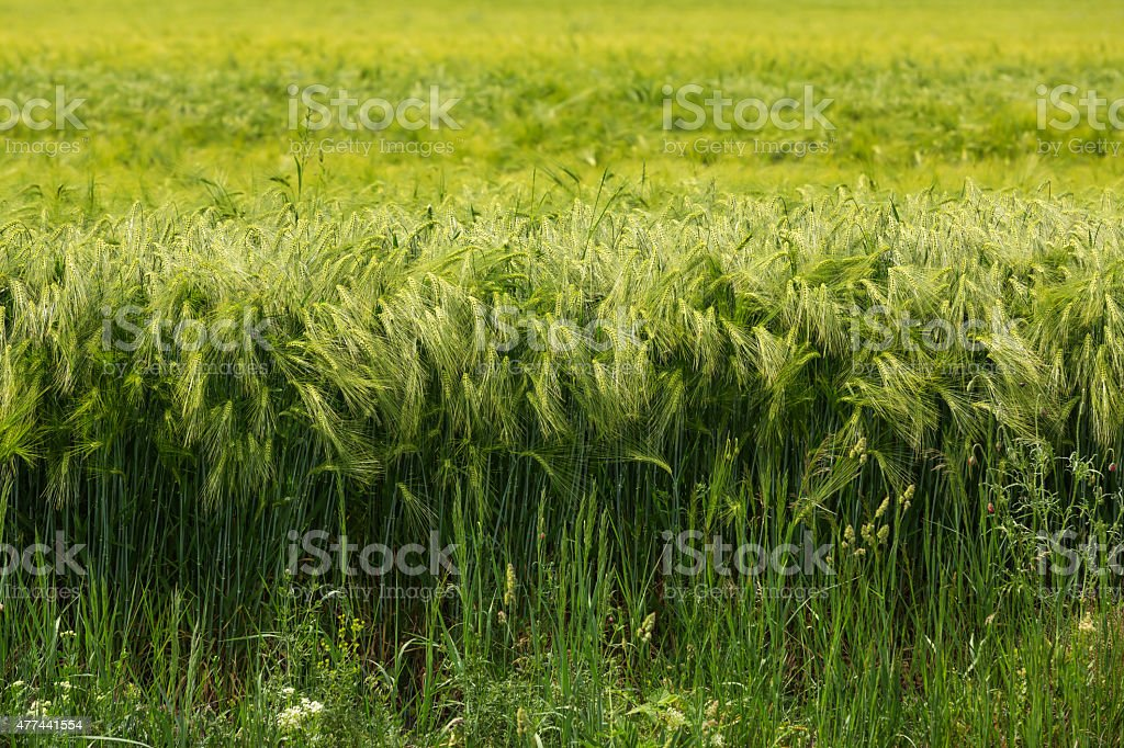 Green barley field stock photo