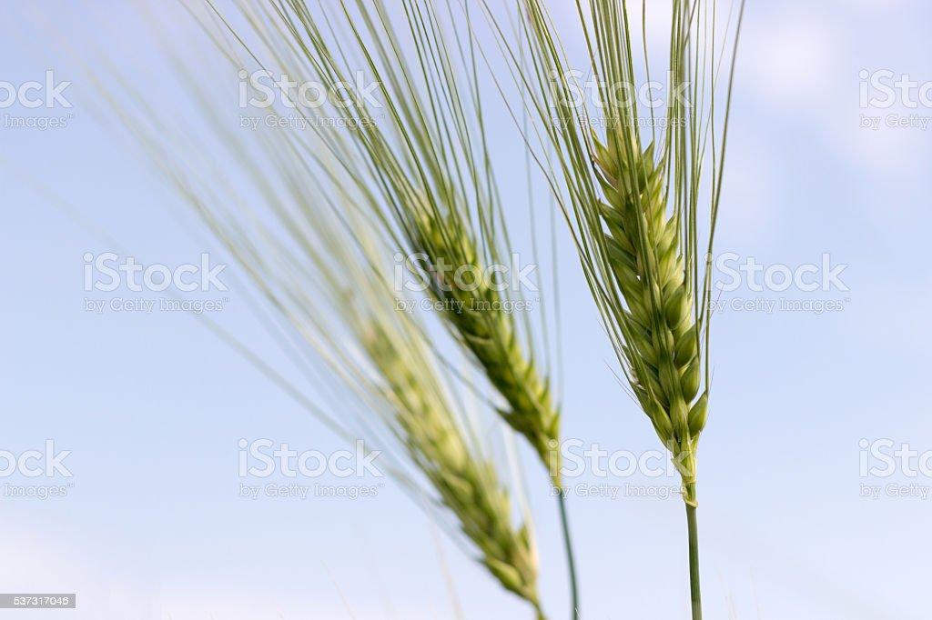 Green barley stock photo