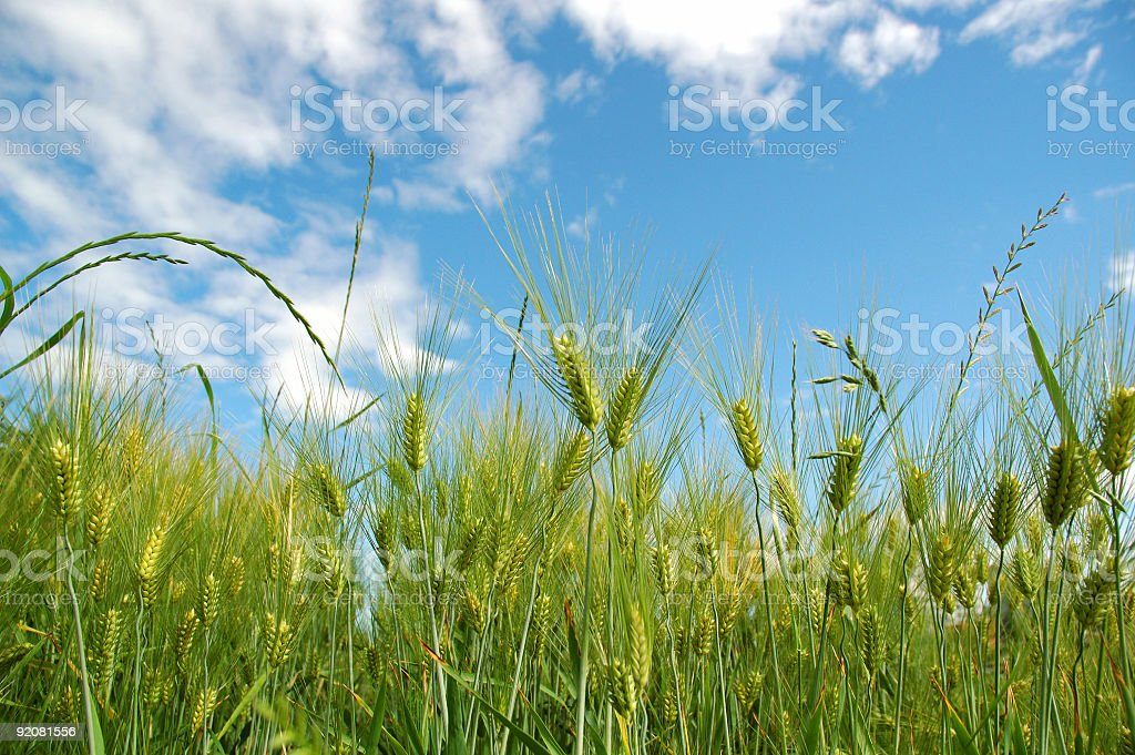 Green barleys stock photo