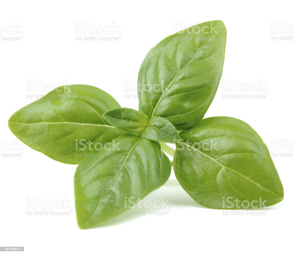 Green Basil Isolated on White Background stock photo