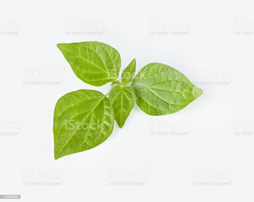 green basil leaves isolated stock photo