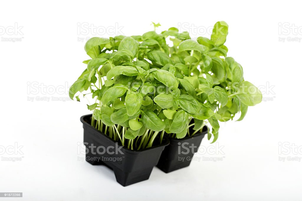 green basil royalty-free stock photo