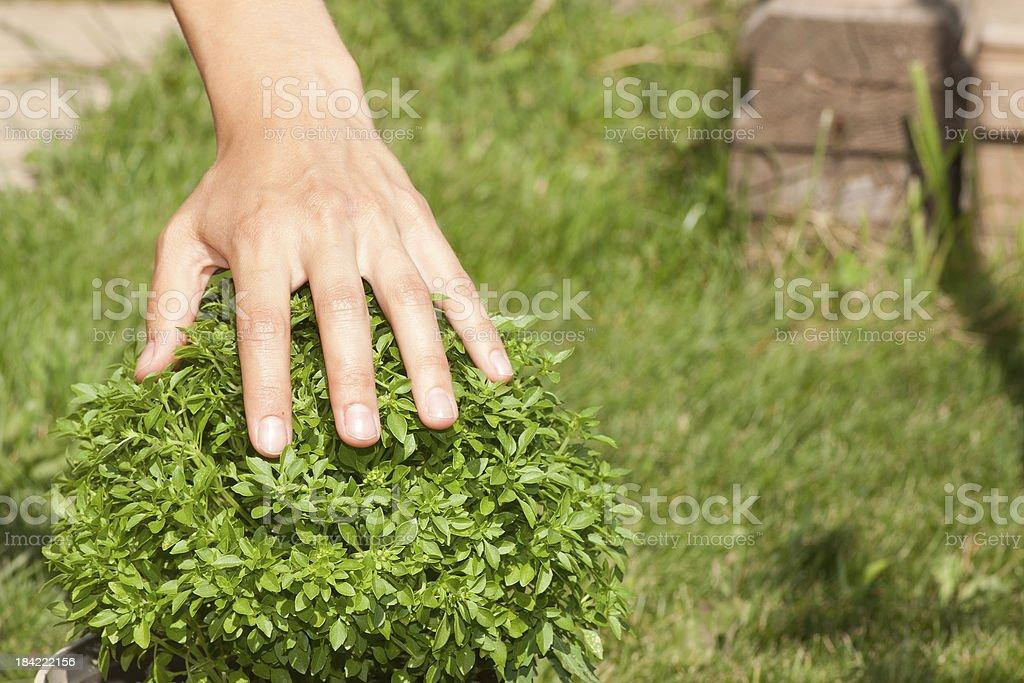 green basil plant and human hand royalty-free stock photo