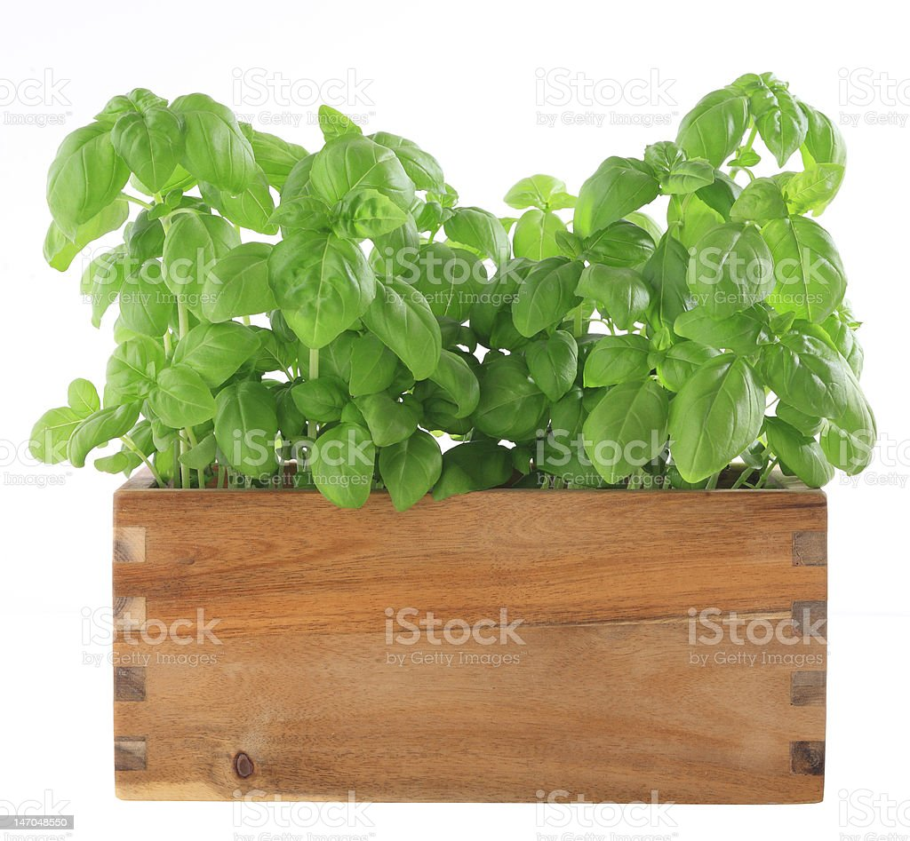 Green basil plants in a wooden flowerpot stock photo