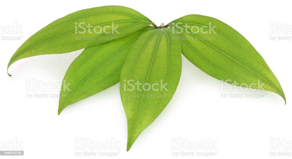 Green bay leaf stock photo