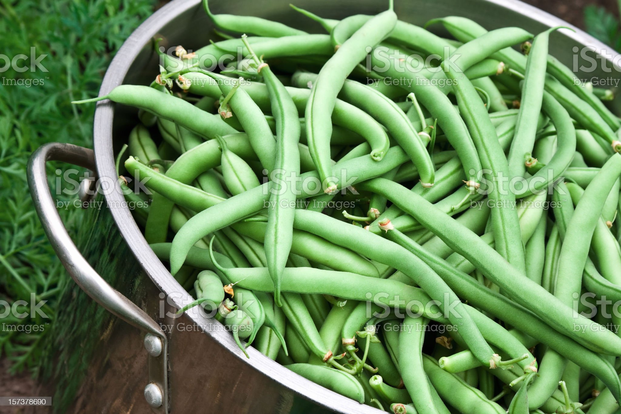 Green Bean Harvest royalty-free stock photo