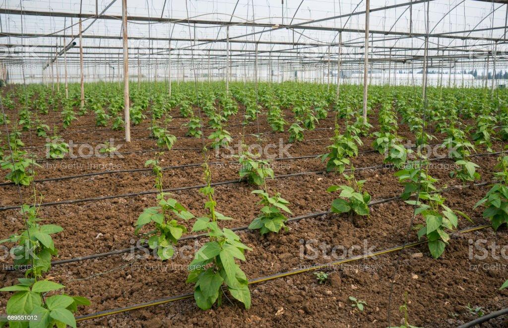 Green bean plants stock photo