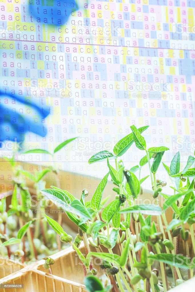 green bean sapling stock photo