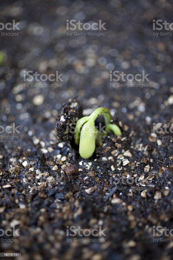 Green Bean Seedling stock photo