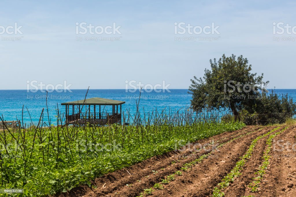 green bean vegetable field at garden near kabak beach of fethiye mugla turkey stock photo