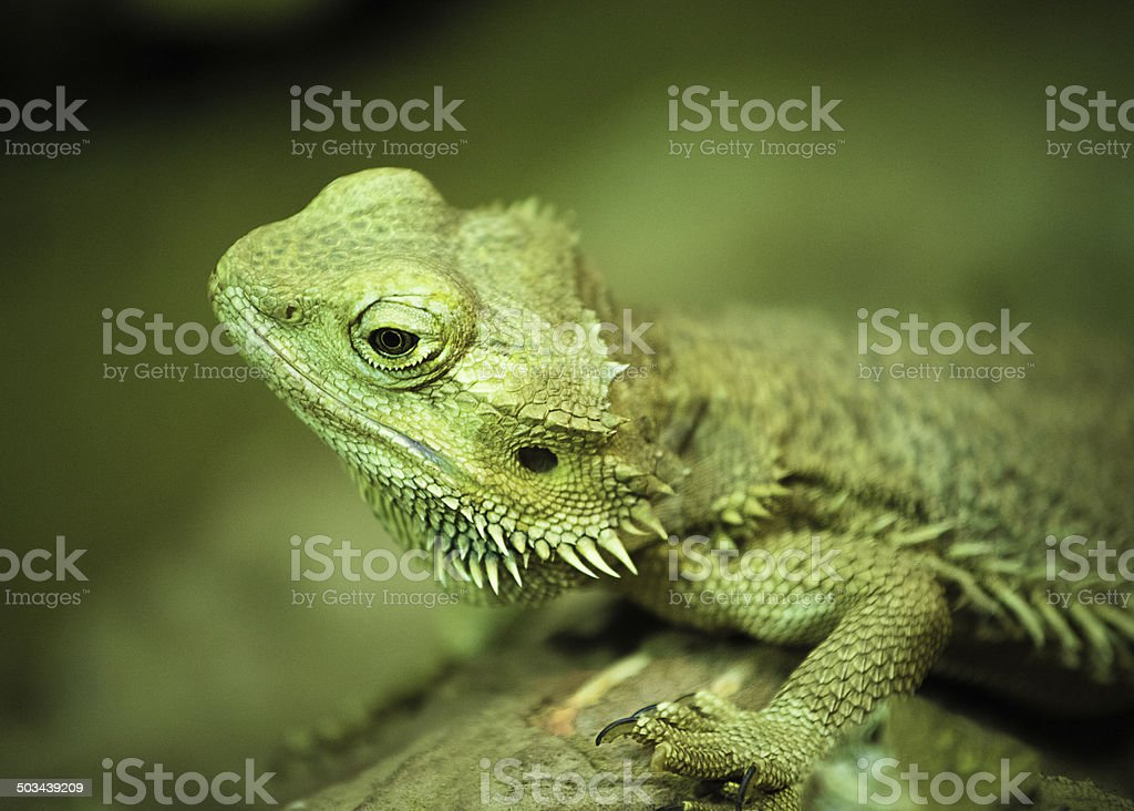 Green bearded dragon lizard in nature in close-up photo stock photo