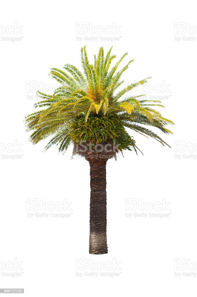 Green beautiful palm tree isolated on white background. stock photo