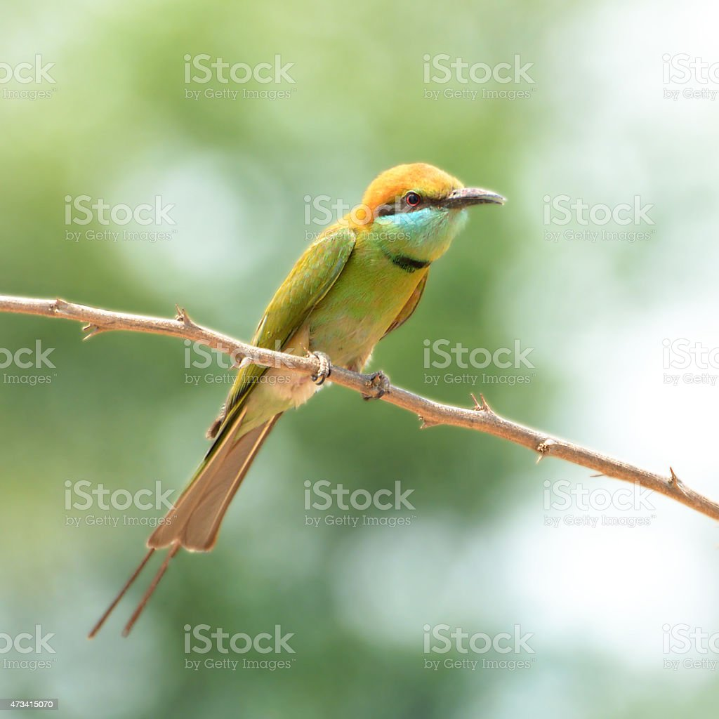 Green Bee - eater/ little green bee-eater royalty-free stock photo