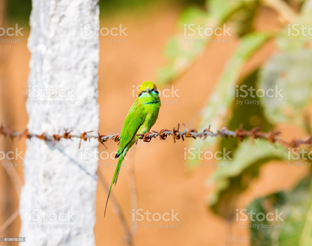 Green Bee Eater stock photo
