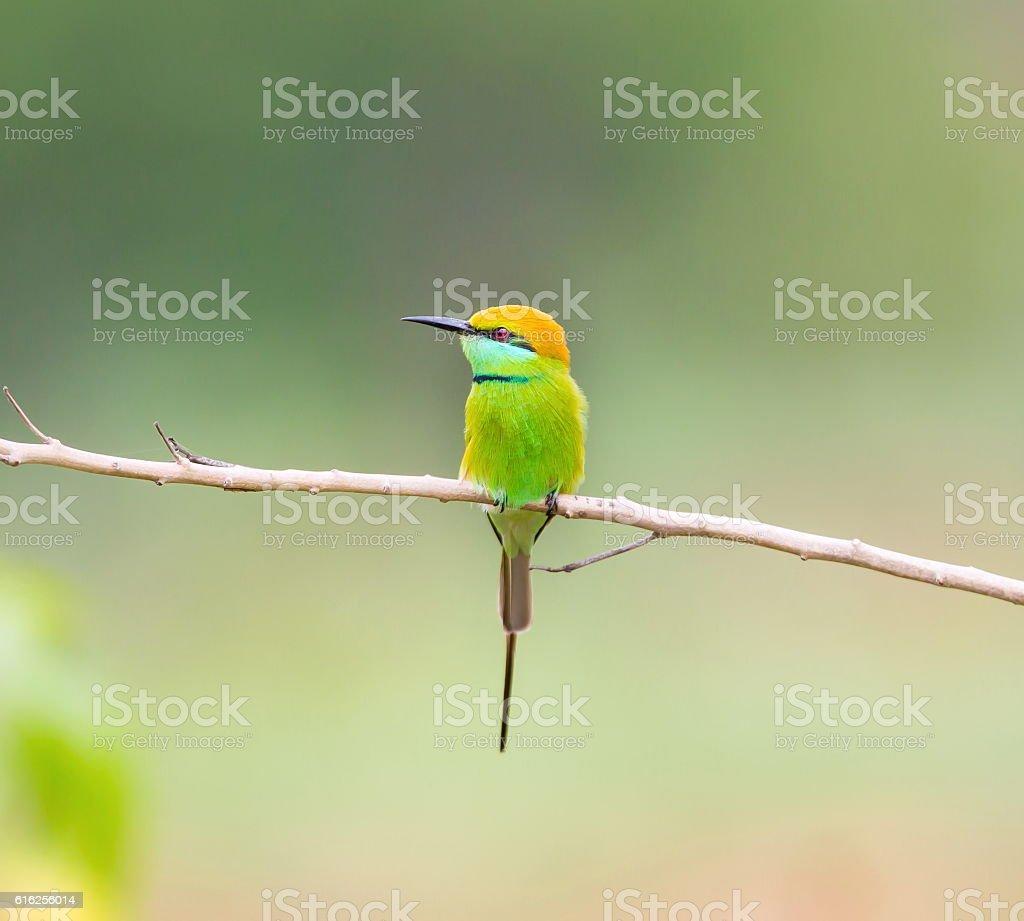 Green Bee Eater stock photo