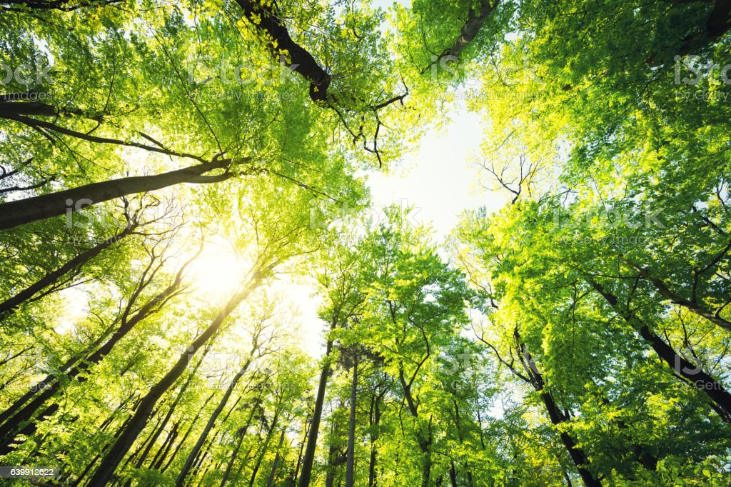 Green Beech Forest In Spring stock photo
