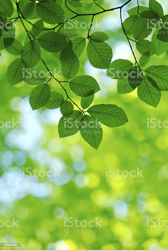 green beech leaves and sunlight royalty-free stock photo
