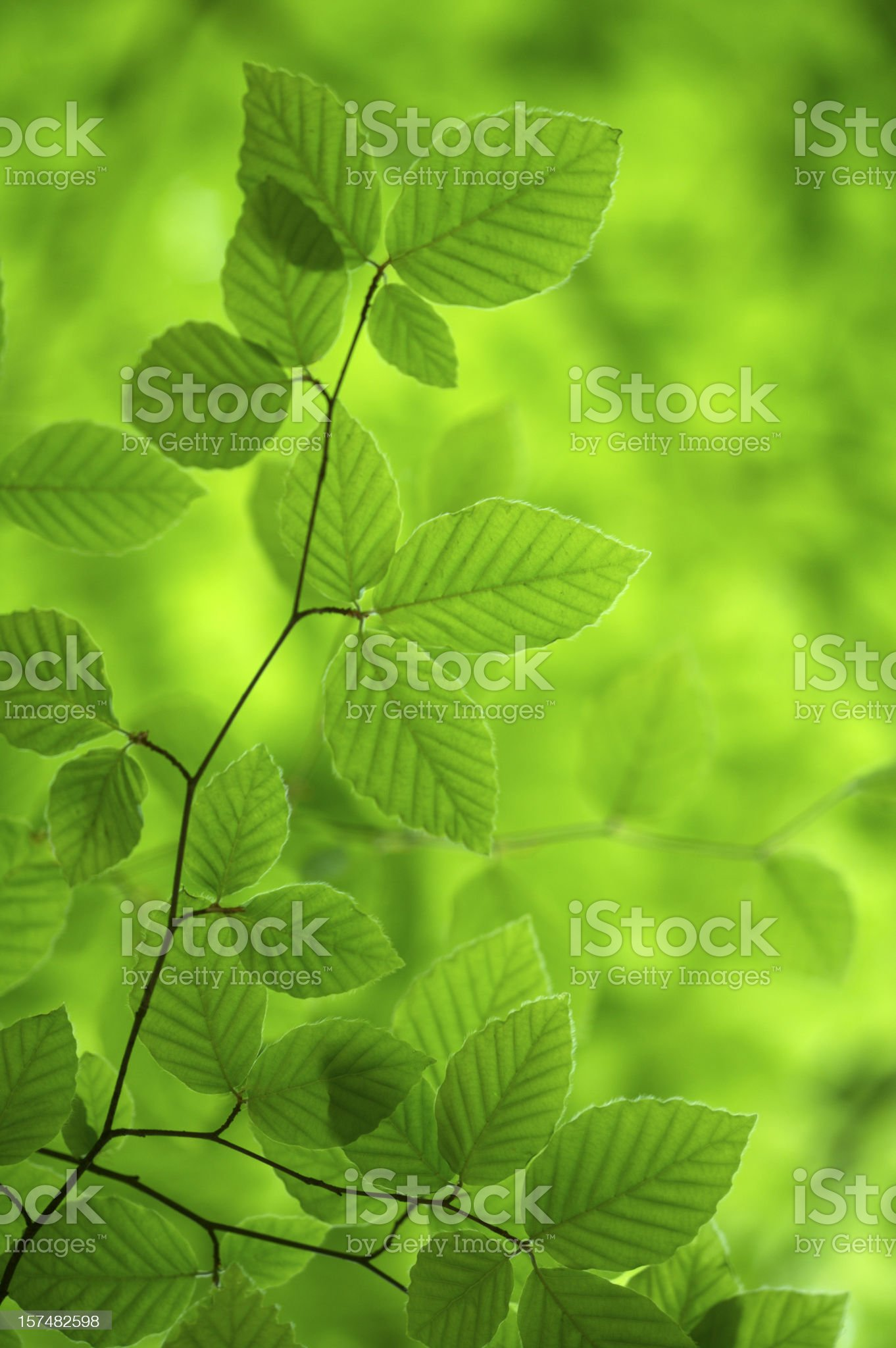 Green Beech Leaves royalty-free stock photo