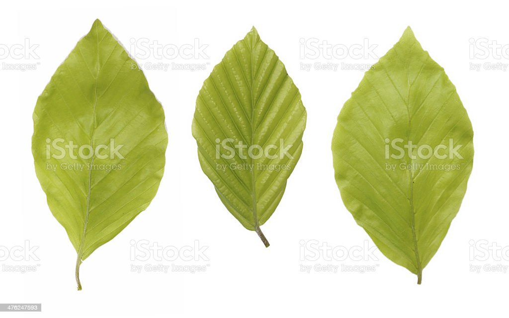 Green beech leaves stock photo