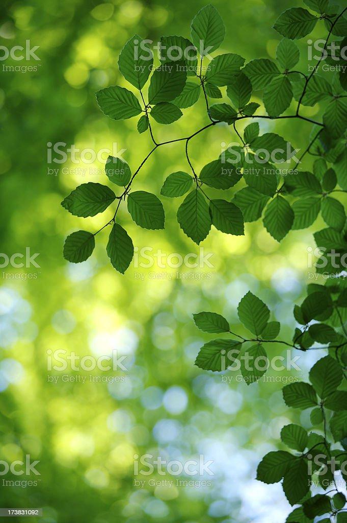Green Beech Tree leaves royalty-free stock photo