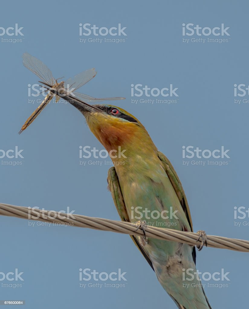 Green Bee-eater with dragonfly in its beak stock photo