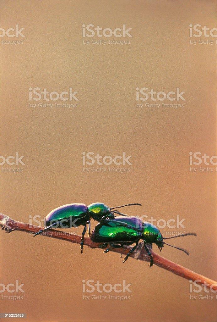 Green beetle (Lat. Chrysomelidae ) in desert. Astrakhan region, Russia stock photo