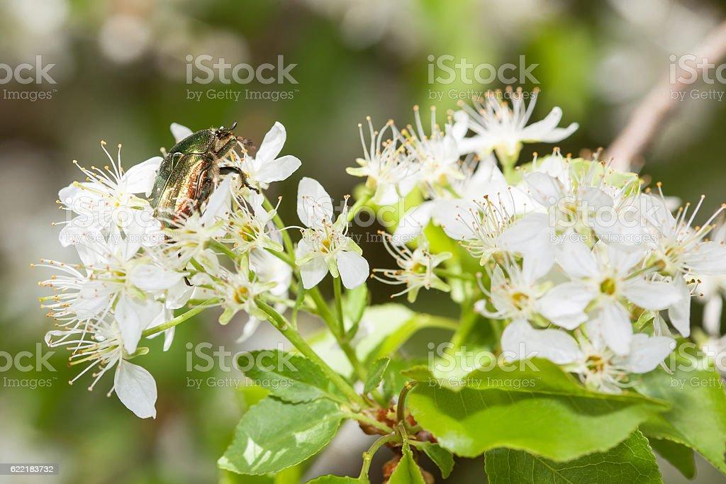 green beetle in flowers stock photo