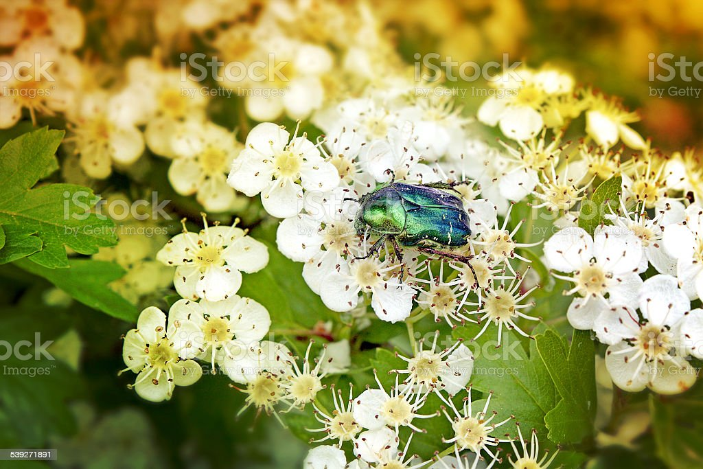Green beetle insect on white flowers in spring stock photo